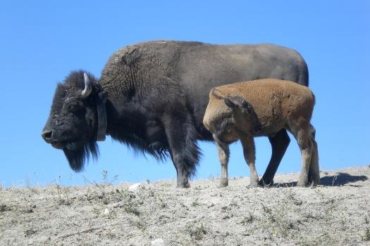 3fa90-buffalo
